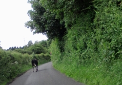 Cow in a country lane near the planned A556