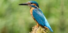 Photo: kingfisher